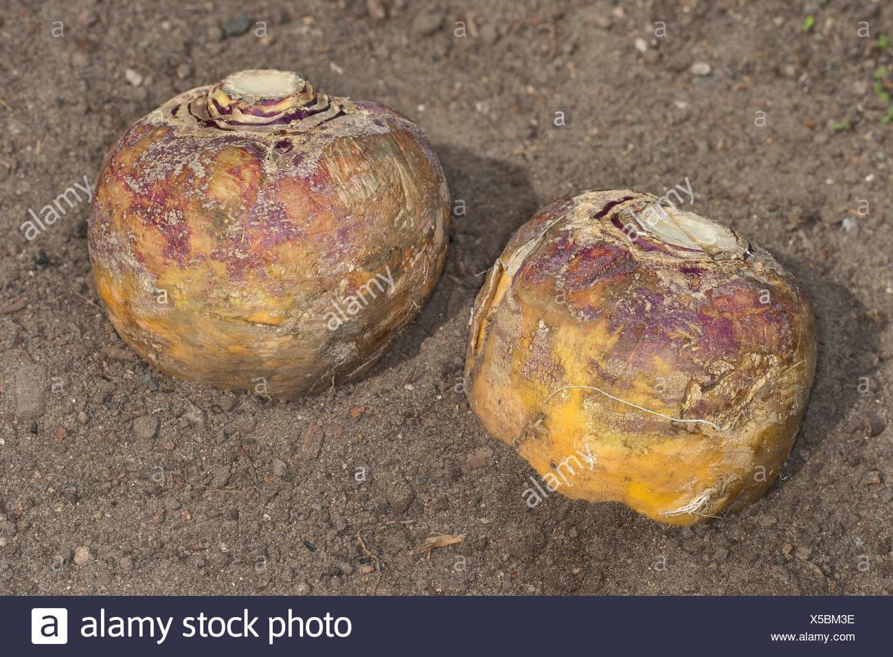 rutabaga, swede, turnip, yellow turnip, neep, root, beet (Brassica napus subsp. rapifera, Brassica napus rapifera, Brassica rapifera), two harvested rutabagas, Germany - Stock Image