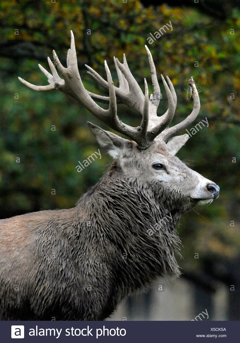 An adult Red Deer stag covered in mud, with antlers. - Stock Image