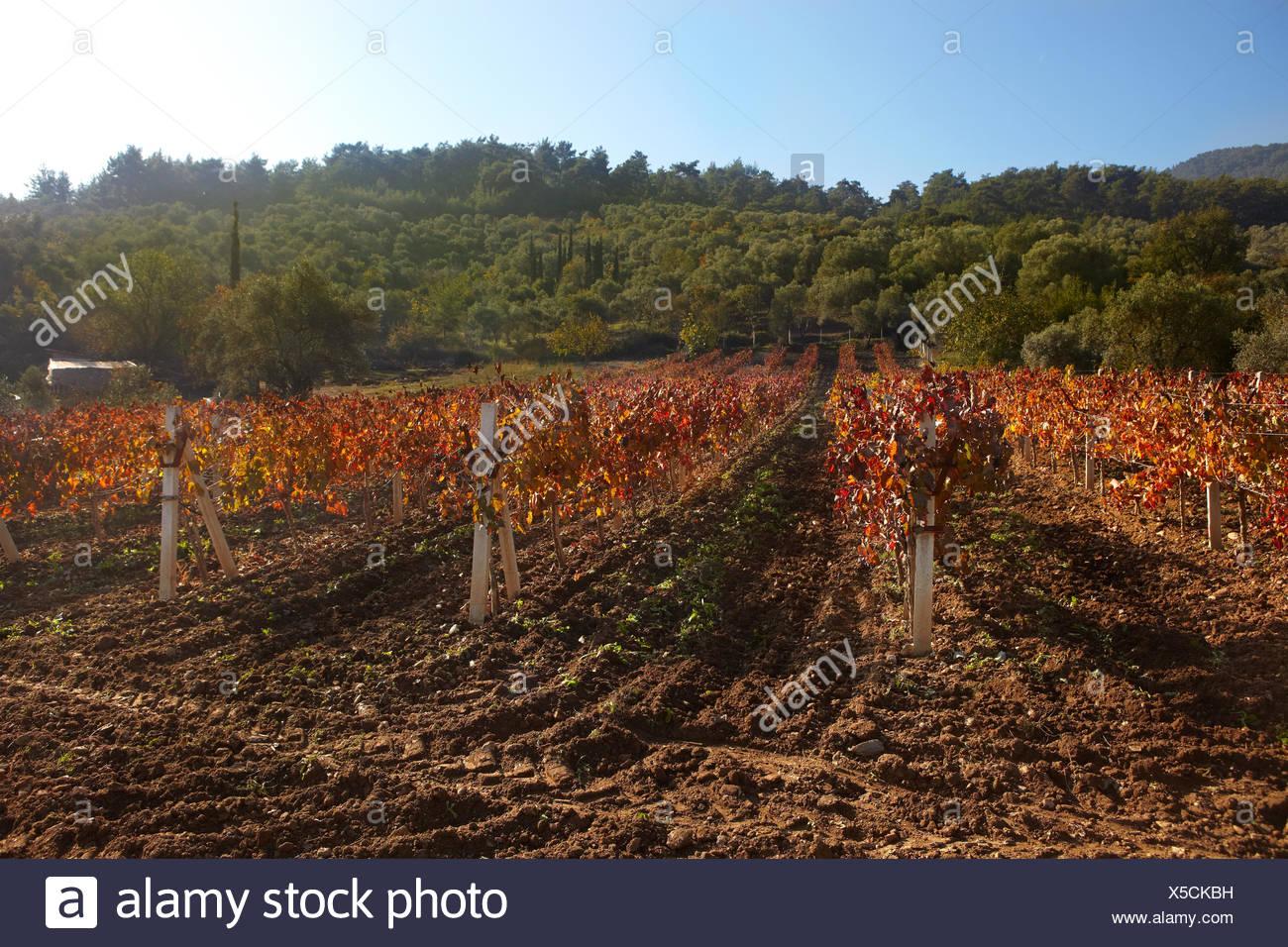vineyard vines farm wineyard rural peasant ground soil earth humus brown - Stock Image