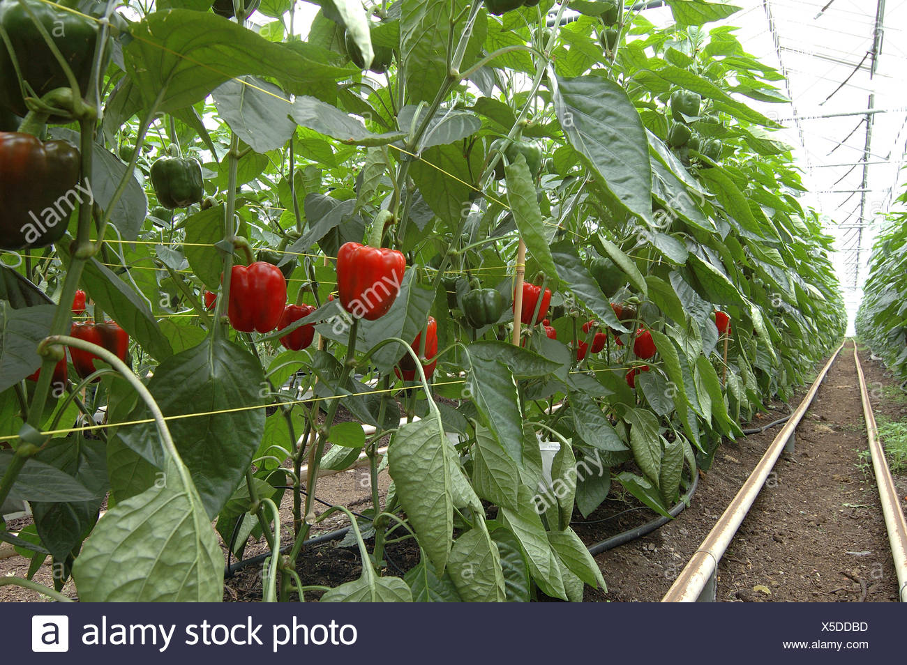 Ripening organic red sweet peppers in comercial glasshouse - Stock Image