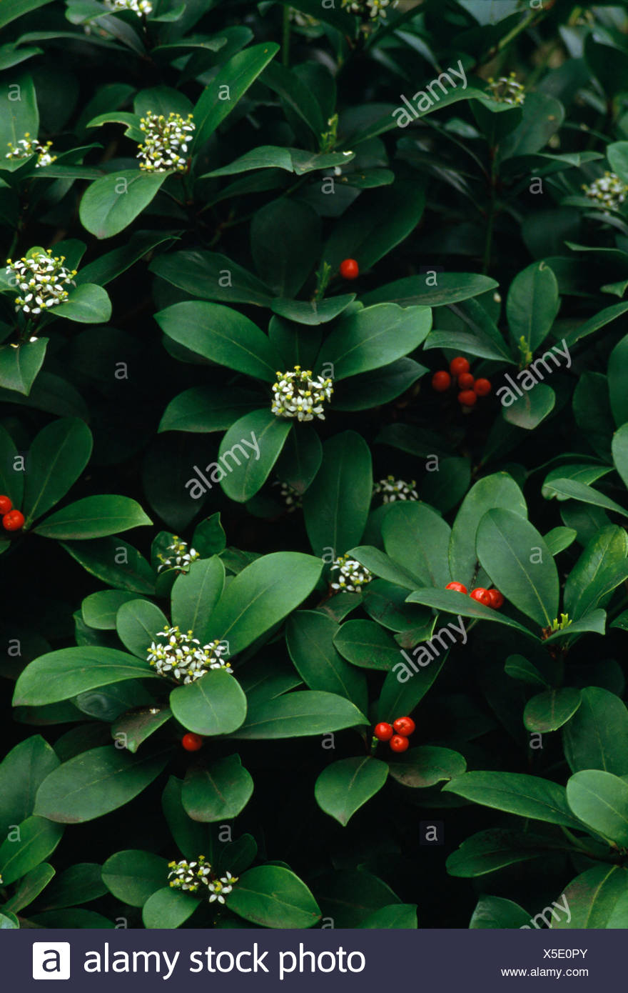 Close Up Of A Skimmia Japonica With Red Berries And White Flowers