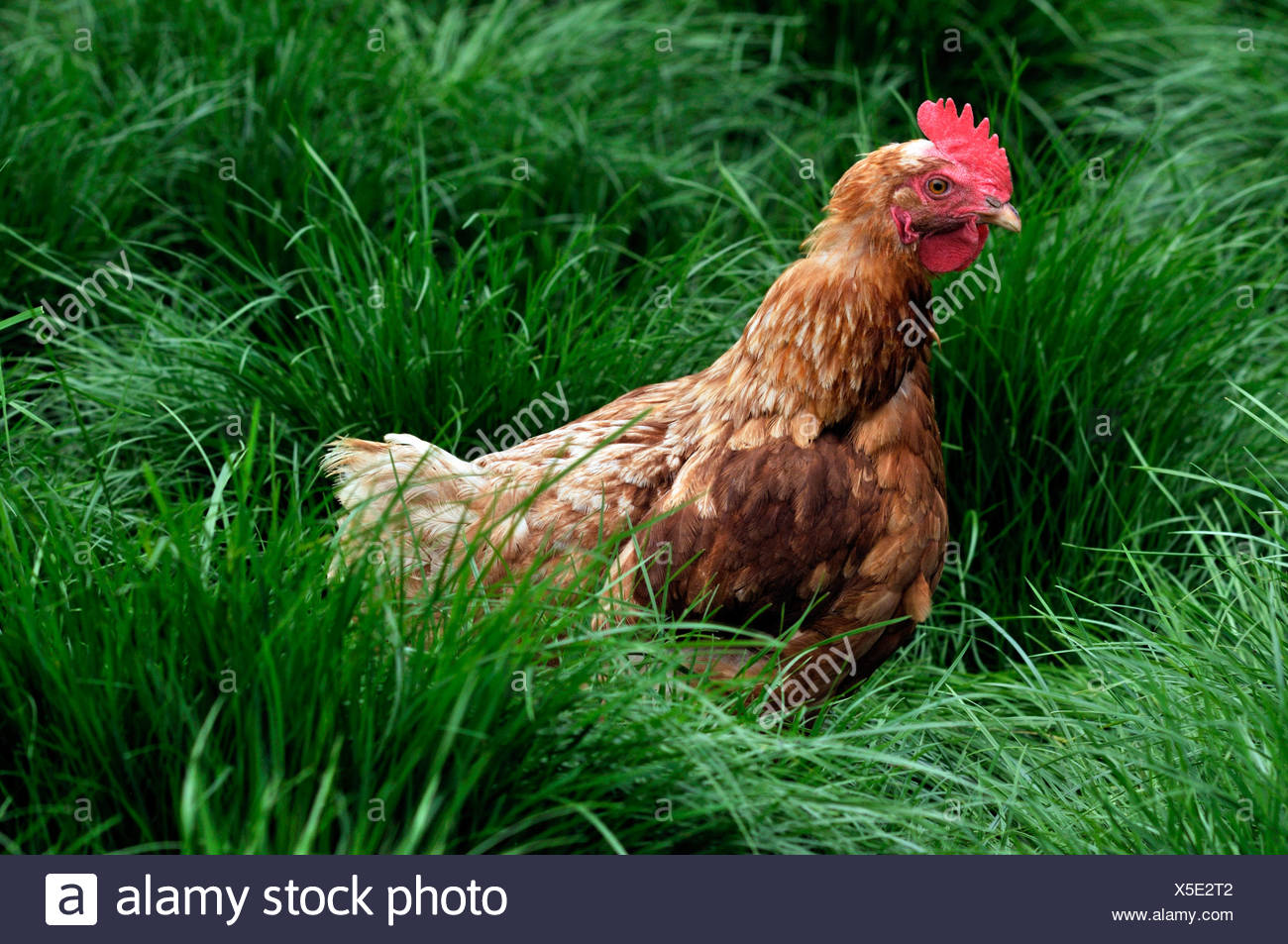 Brown Domesticated Chicken (Gallus gallus domesticus) in grass - Stock Image