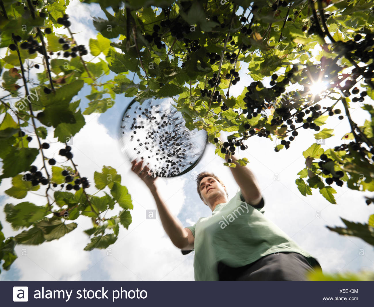 Man Harvesting Blackcurrants - Stock Image