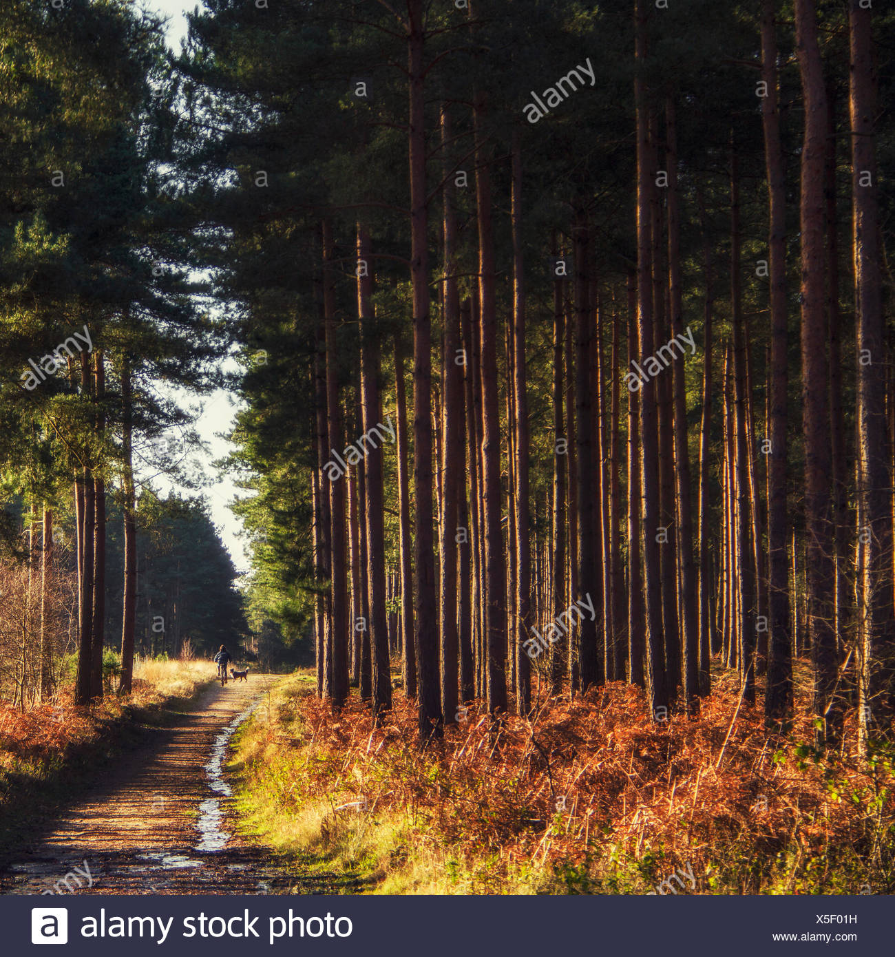 Tall trees along dirt road - Stock Image