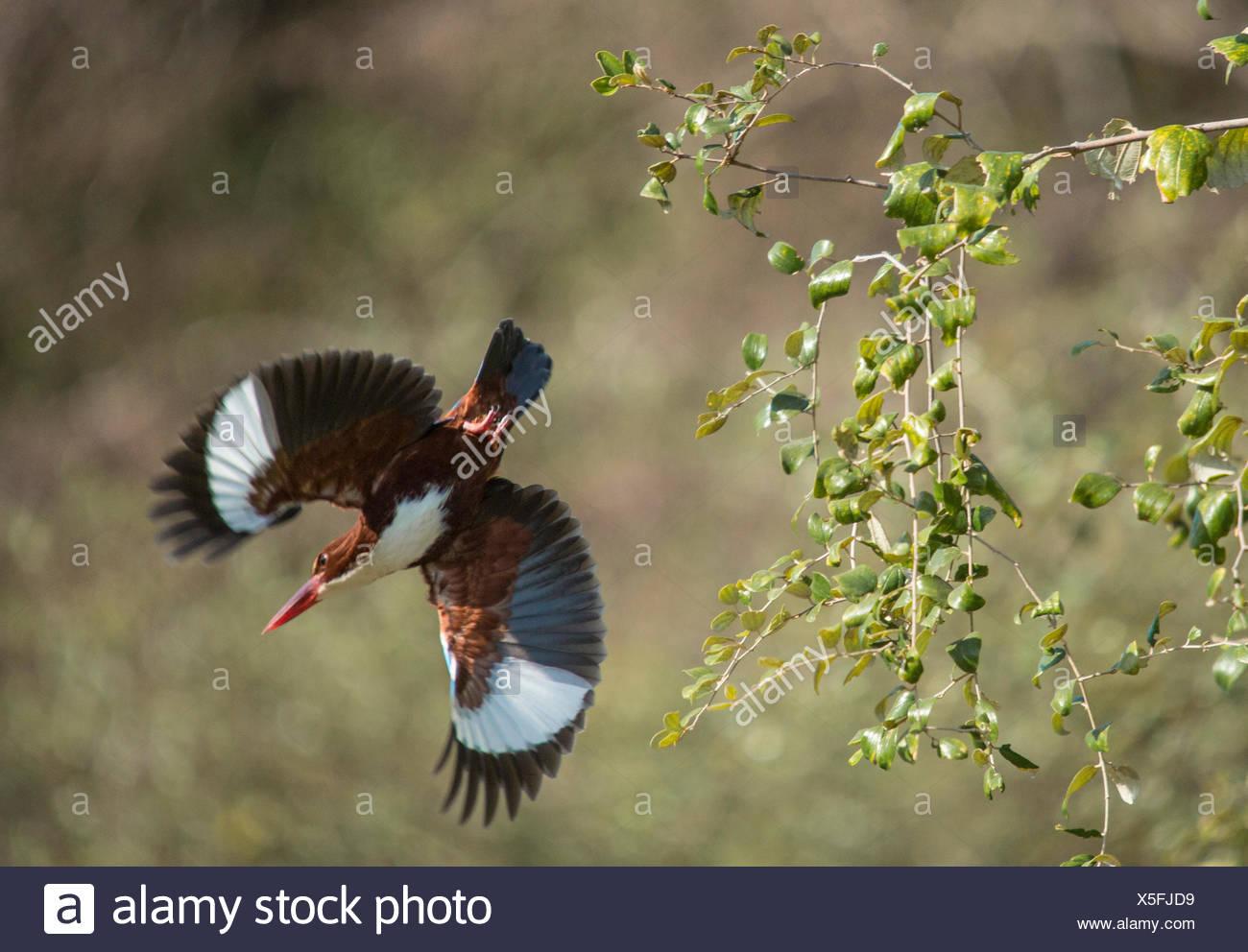 Indian, kingfisher, Ranthambore, national park, Asia, India, animals, Rajasthan, - Stock Image