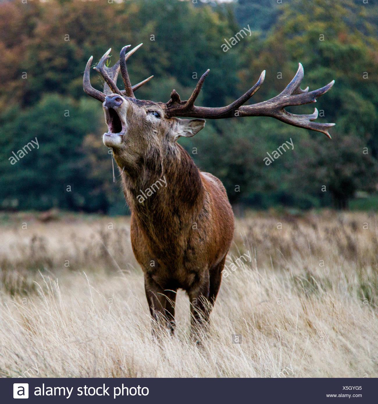 Stag bleating, Windsor Great Park, Berkshire, England, UK - Stock Image