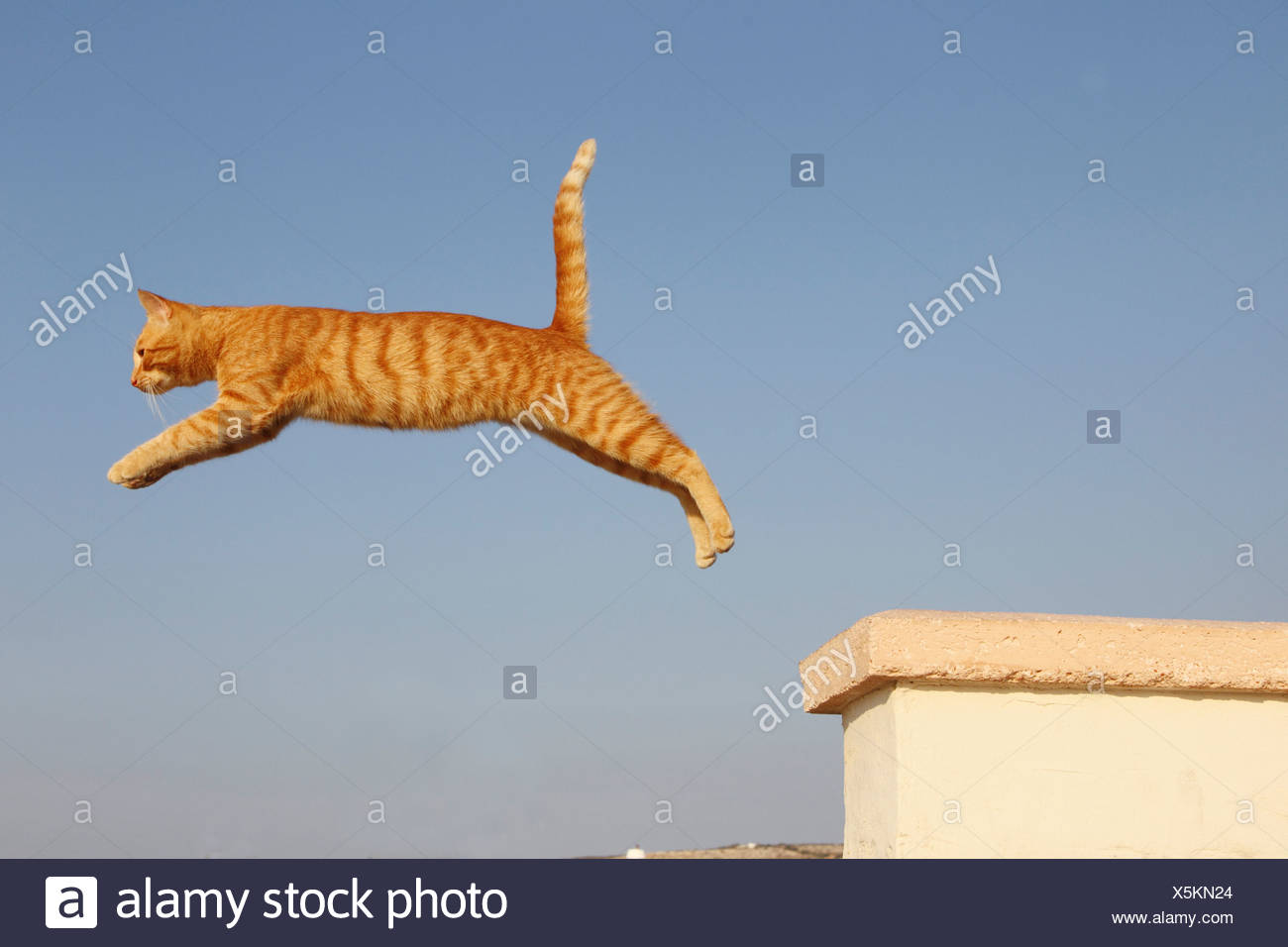 domestic cat - jumping - Stock Image