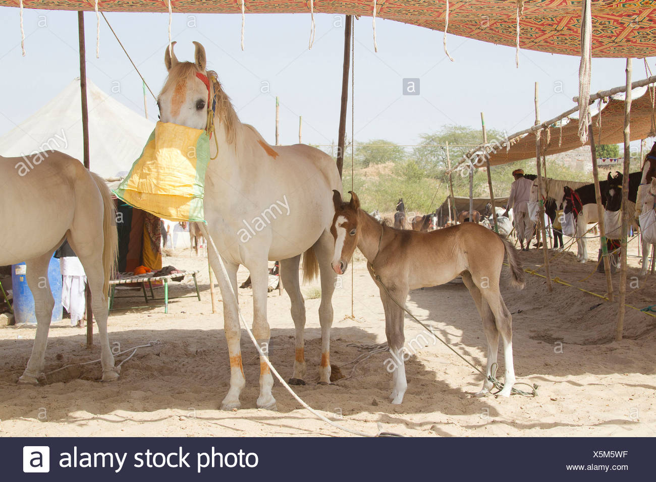 Fashion week Horse Marwari foal pictures for girls