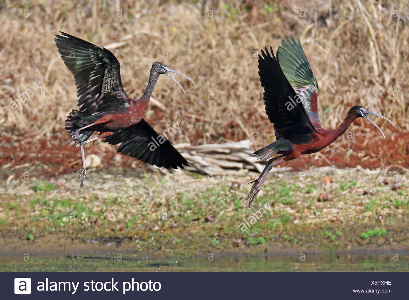 glossy ibis (Plegadis falcinellus), two Glossy ibises taking off, USA, Florida - Stock Image