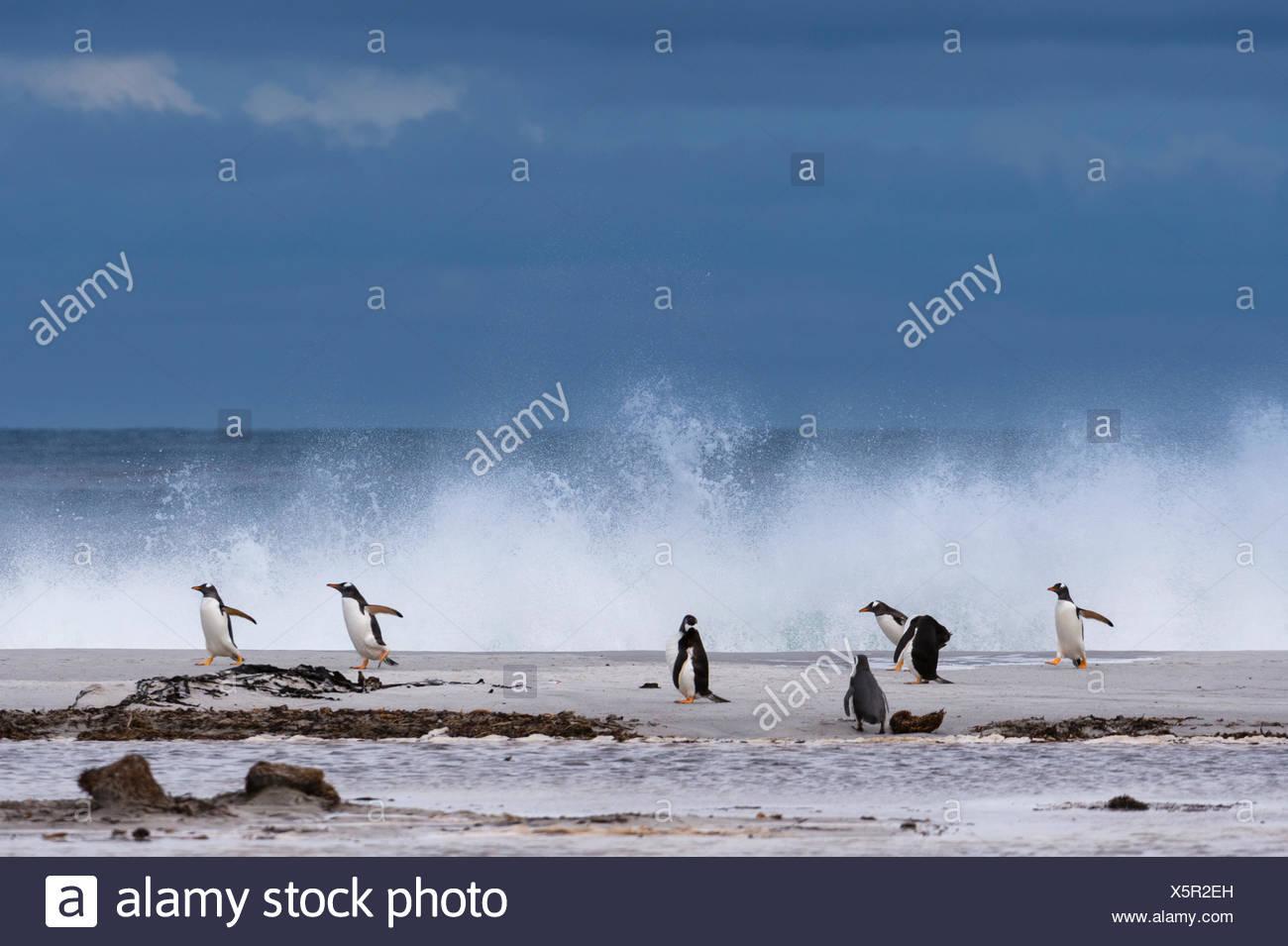 Gentoo penguins, Pygoscelis papua, on a sandy beach. - Stock Image