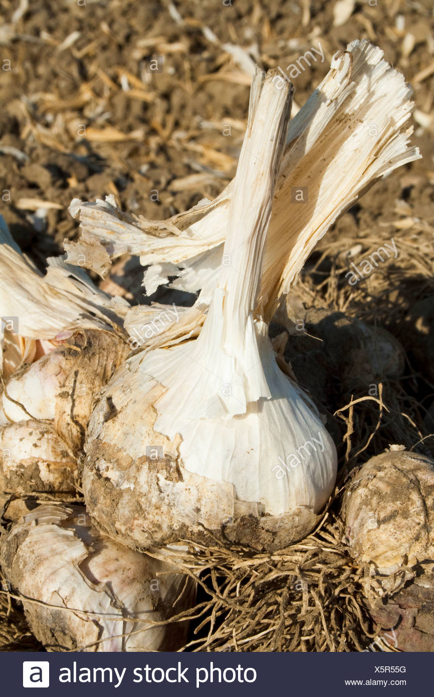 Garlic in the field, dug up and ready to be harvested. This garlic will be processed and dehydrated for use in processed foods. - Stock Image