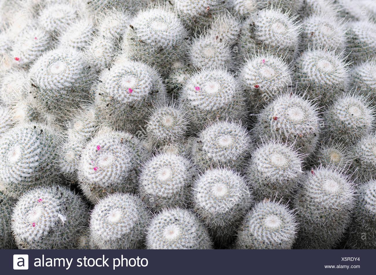 Cactus pincushion cactus mammillaria mammillaria bombycina cactus pincushion cactus mammillaria mammillaria bombycina beauty in nature cactus colour desert plant evergreen spring flowering summer flowering mightylinksfo