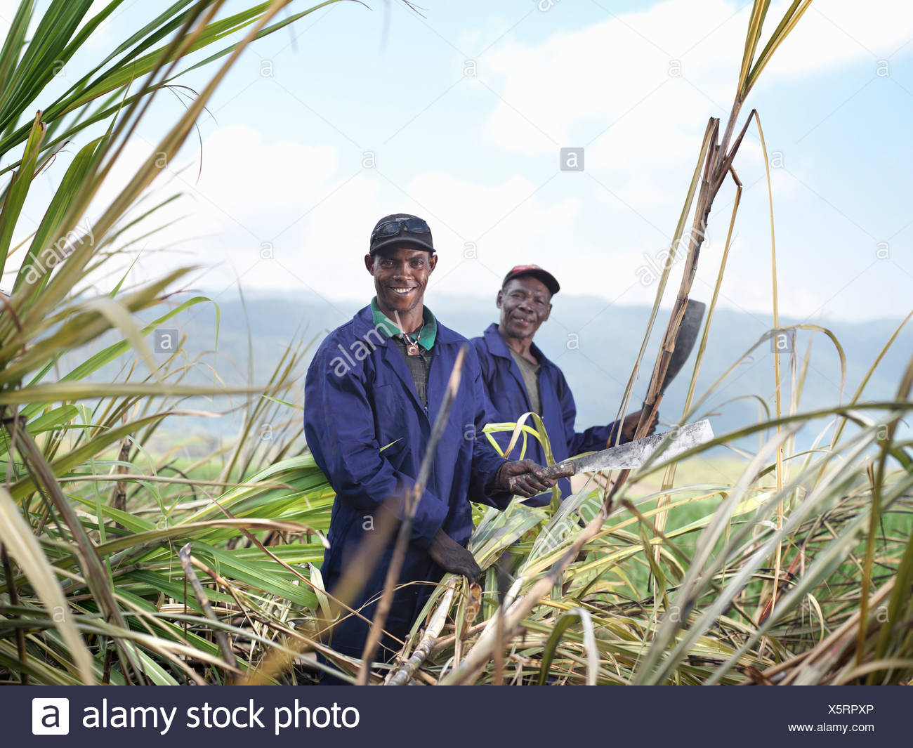 Workers Harvesting Sugar Cane - Stock Image