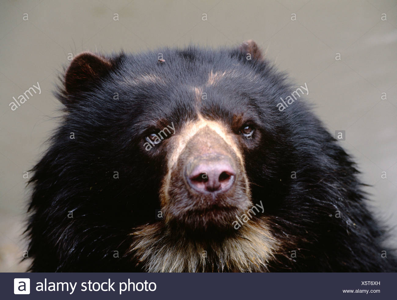Spectacled Bear, La Planada Wildlife Reserve, Colombia - Stock Image