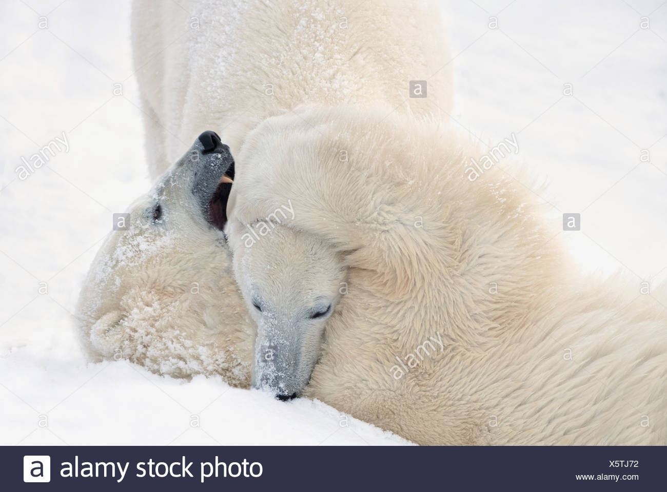 Two Polar Bears Play Fighting As They Wait For The Ice To Freeze Over At Hudson Bay; Churchill, Manitoba, Canada - Stock Image