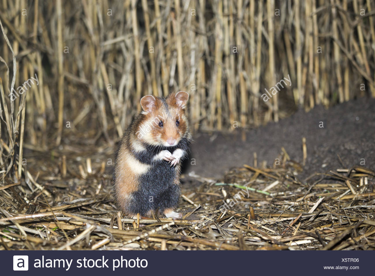 safeguarding common hamster - Stock Image