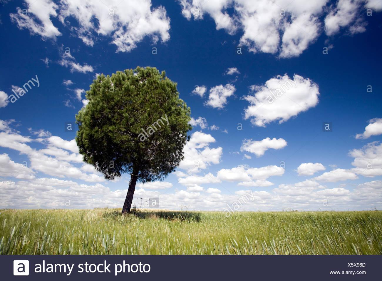 A tree in a wheat field, Sevilla, Spain - Stock Image