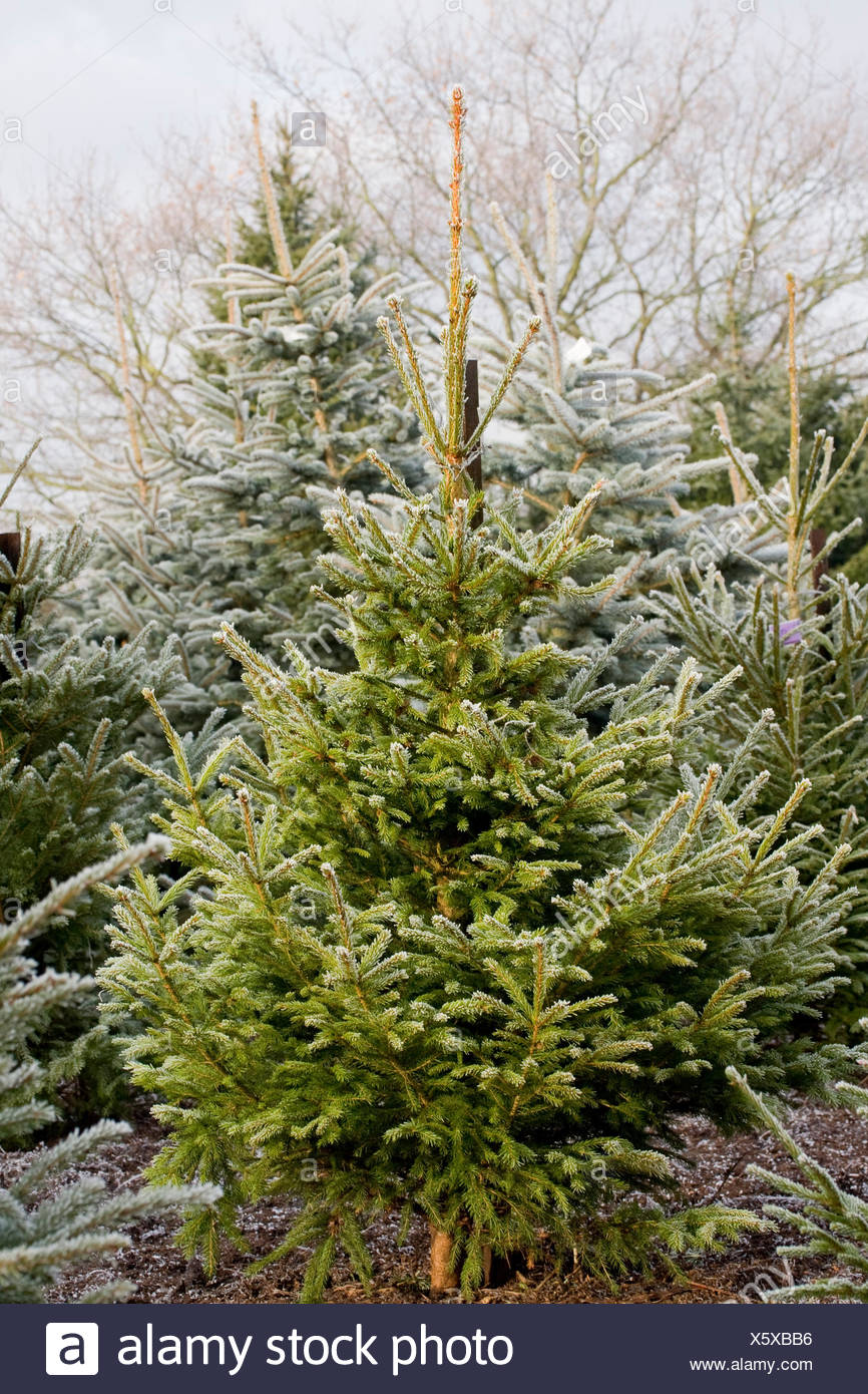picea abies norway spruce the christmas tree farm hawkwell