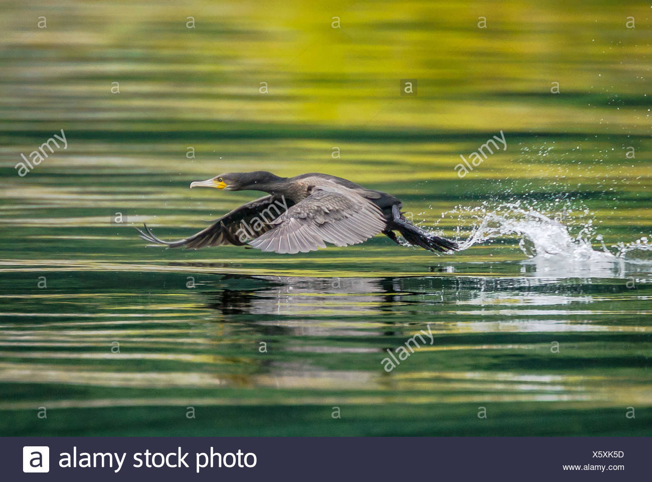 Bird flying low over water - Stock Image