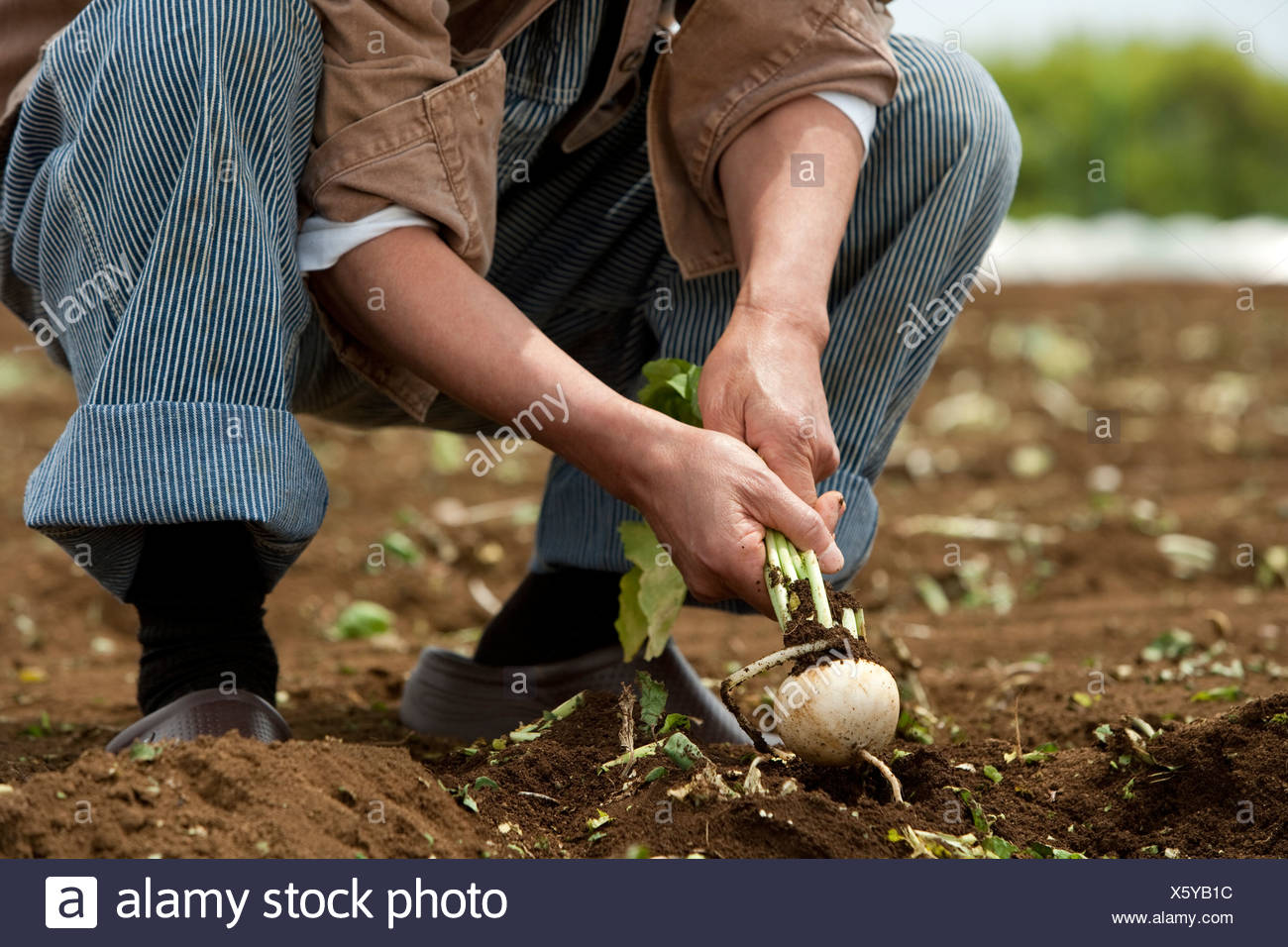 Human hand of senior man harvesting - Stock Image