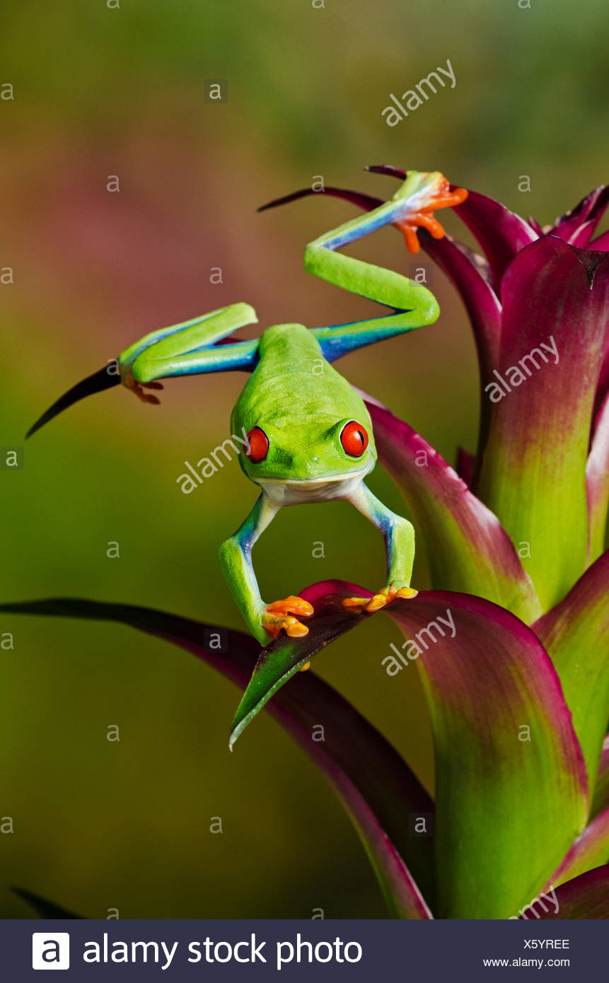 Green Frog With Orange Feet Stock Photos & Green Frog With Orange ...