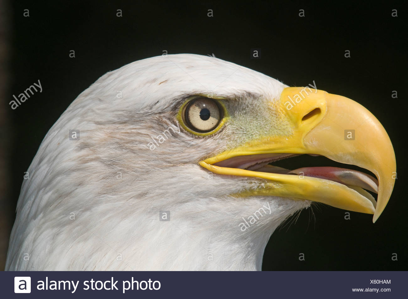 Bald Eagle Halaeetus eucocephalus close up of head - Stock Image