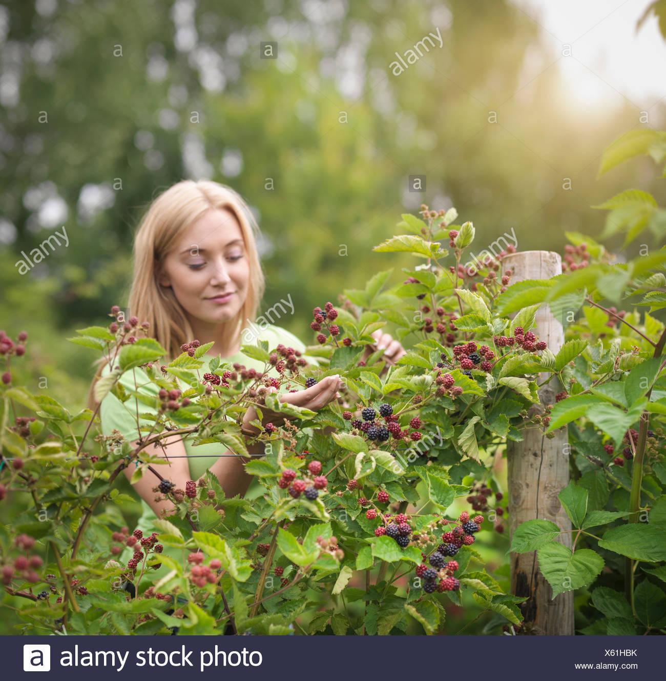 Working picking blackberries on fruit farm - Stock Image