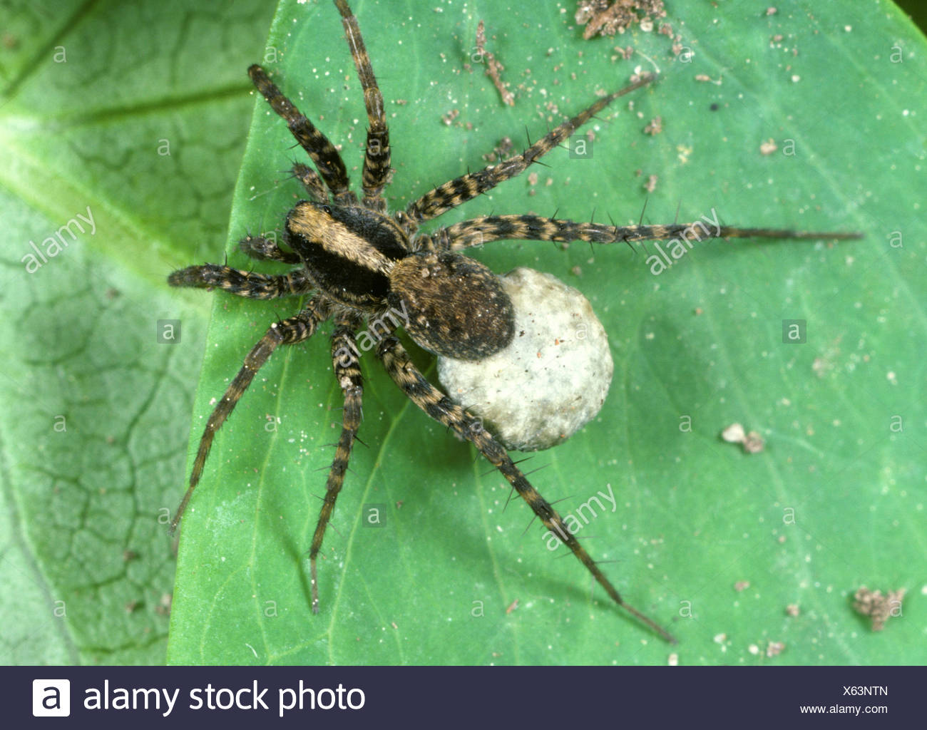 Wolf spider, Pardosa sp., female with egg mass - Stock Image