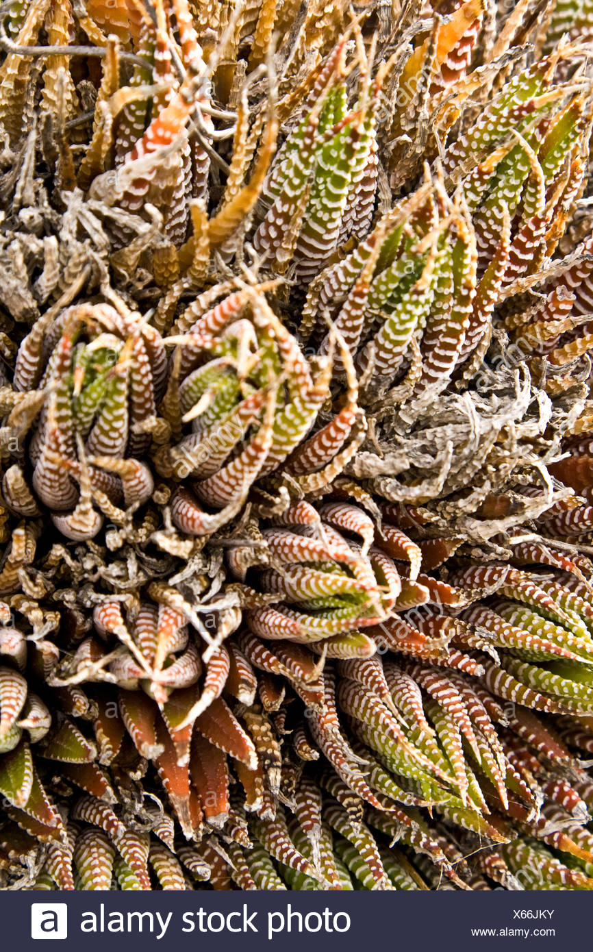 Vibrant Shapes Of Succulent Plant Leaves In Rock Garden.   Stock Image