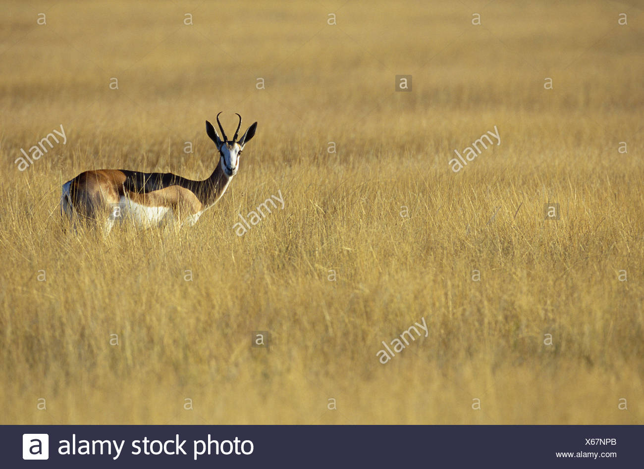 Gazelle - the animal of the steppes and deserts 68