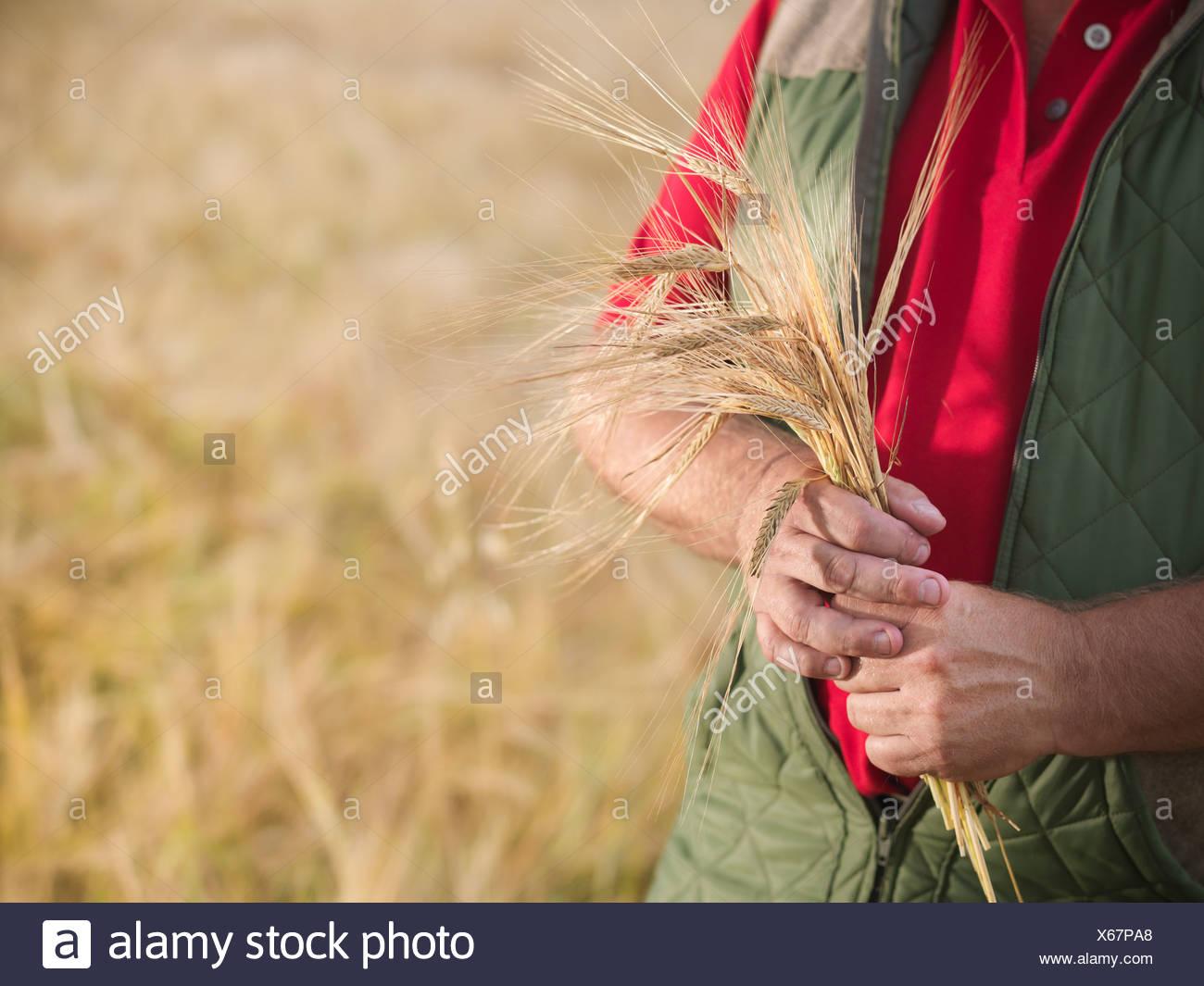 Farmer holding barley stalks in field - Stock Image