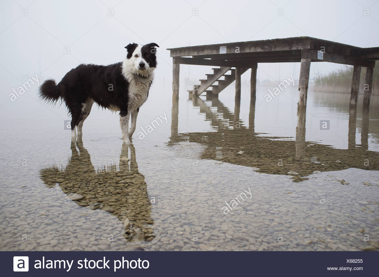 Dog wading in still lake - Stock Image