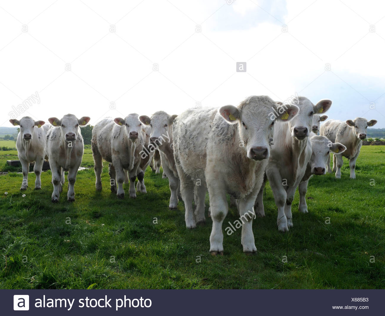 A line of white cows, the cows are angry. - Stock Image