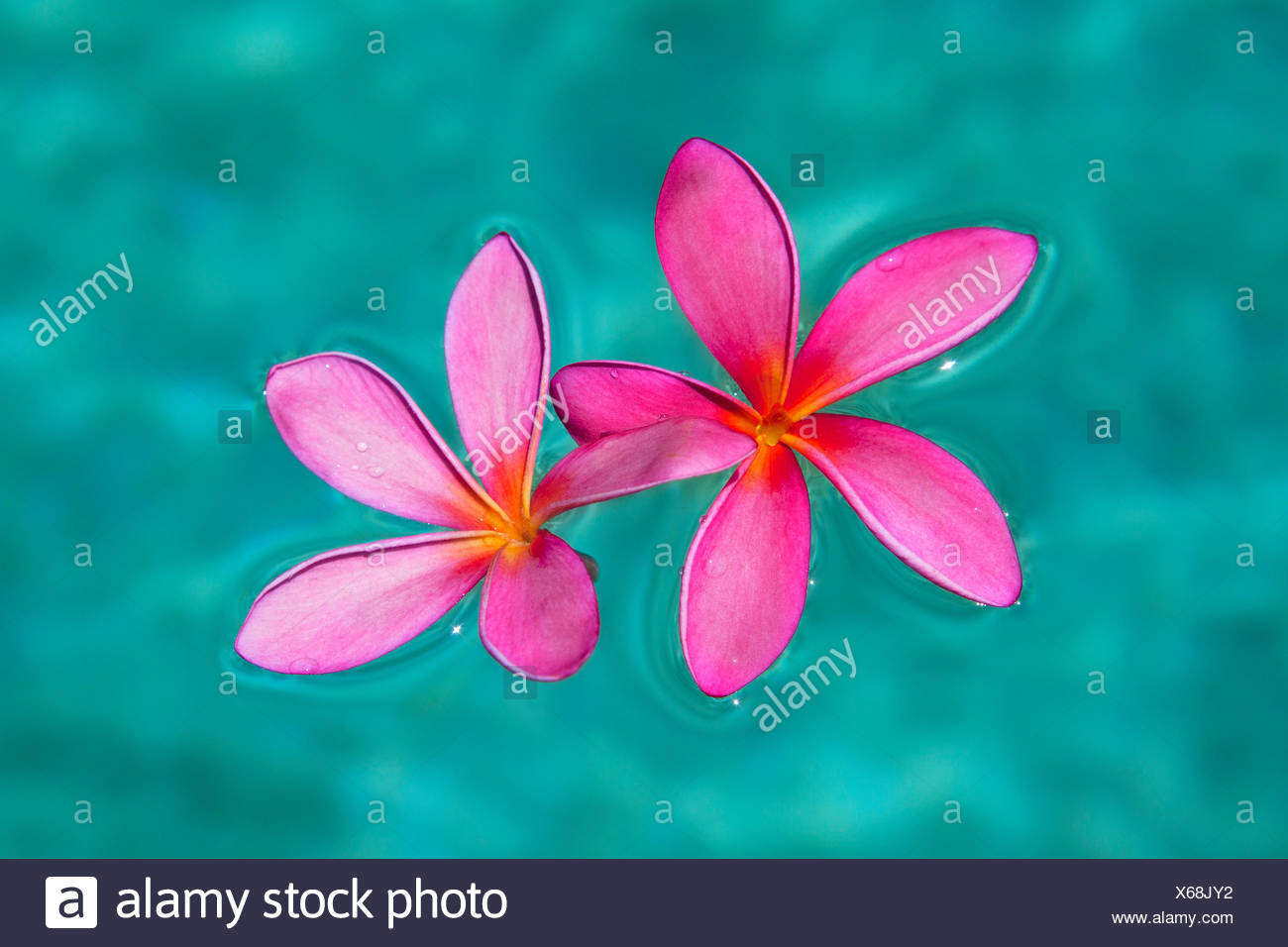 Close up of pink plumeria flowers in water maui hawaii united close up of pink plumeria flowers in water maui hawaii united states of america izmirmasajfo