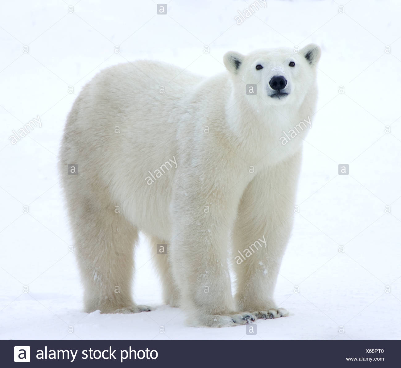 Polar bear standing in field - Stock Image
