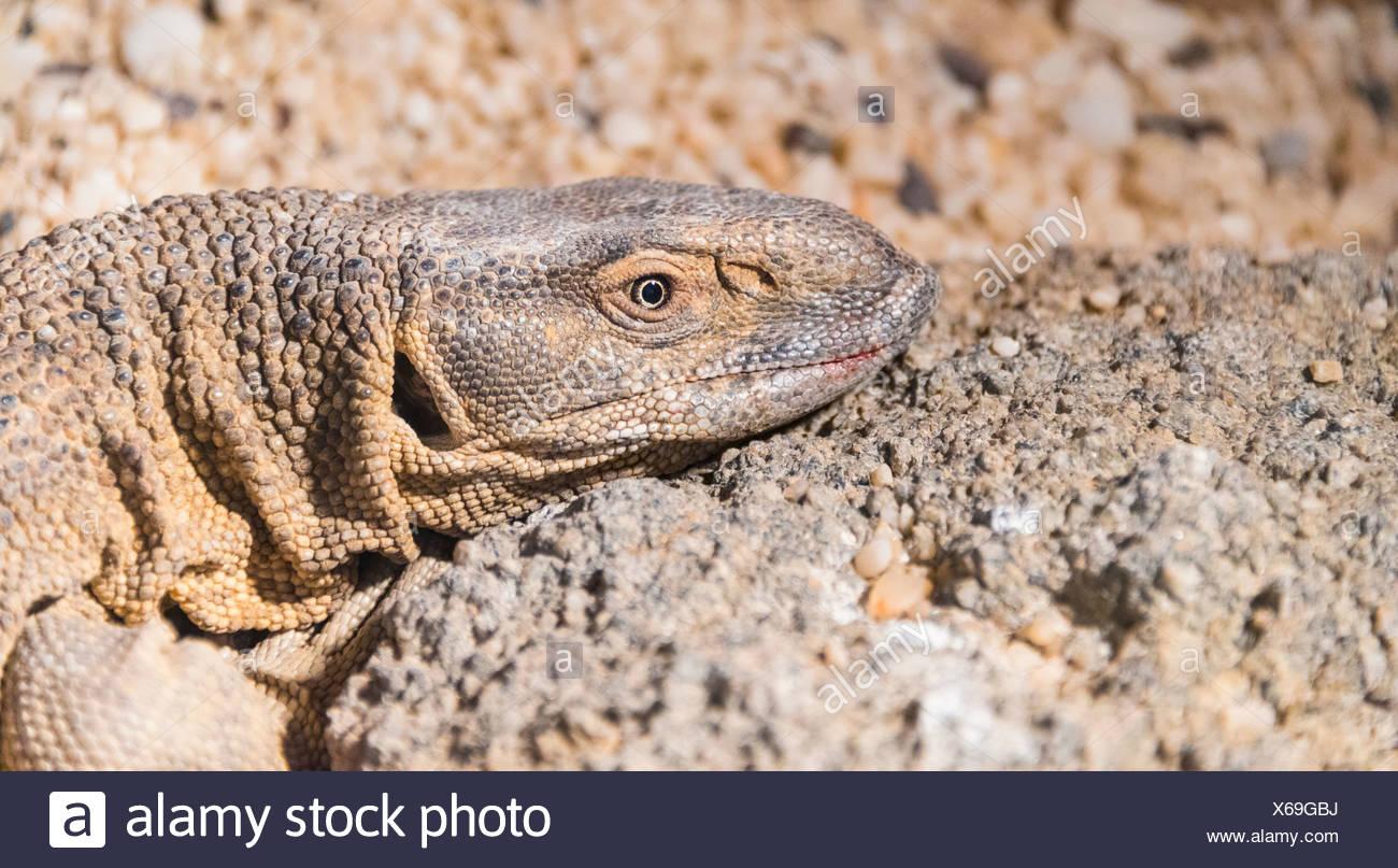 White Throated Monitor Lizard Varanus Albigularis Living Desert
