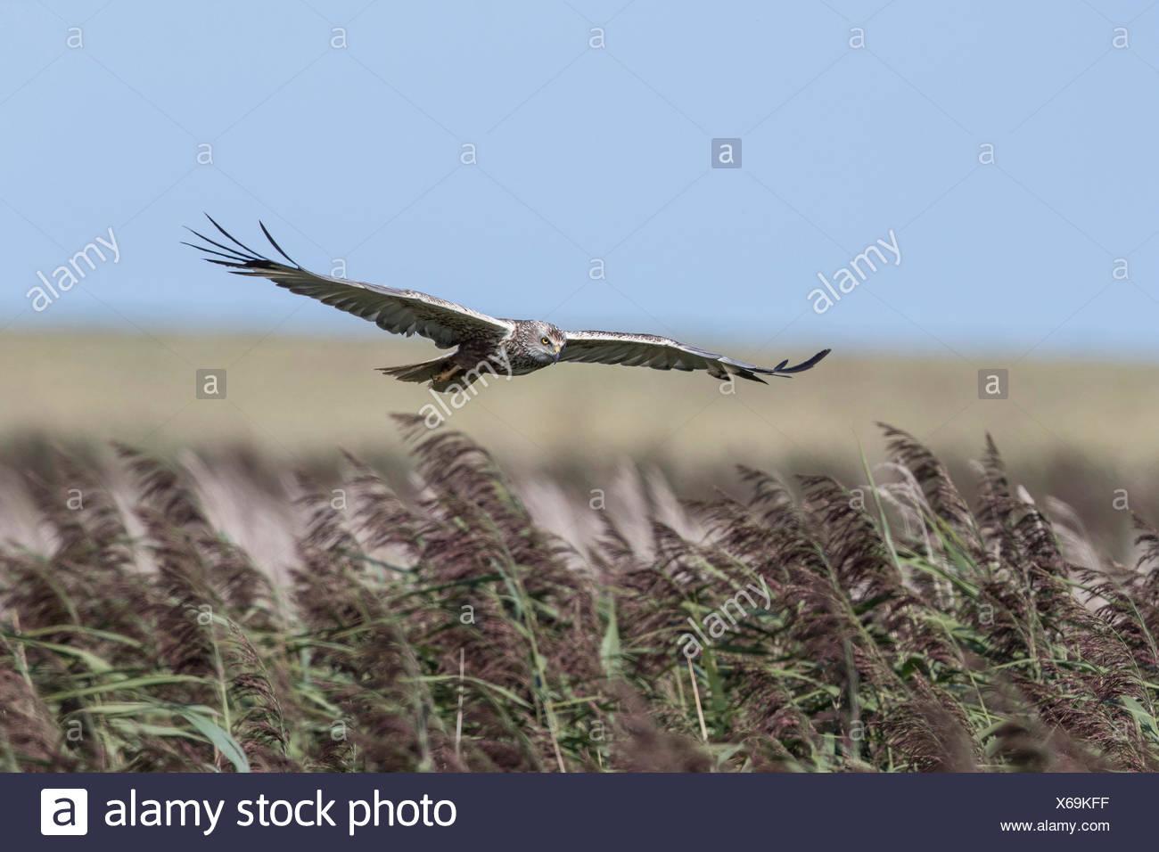 Marsh Harrier male flying over reeds at Deepdale Marsh Norfolk. - Stock Image