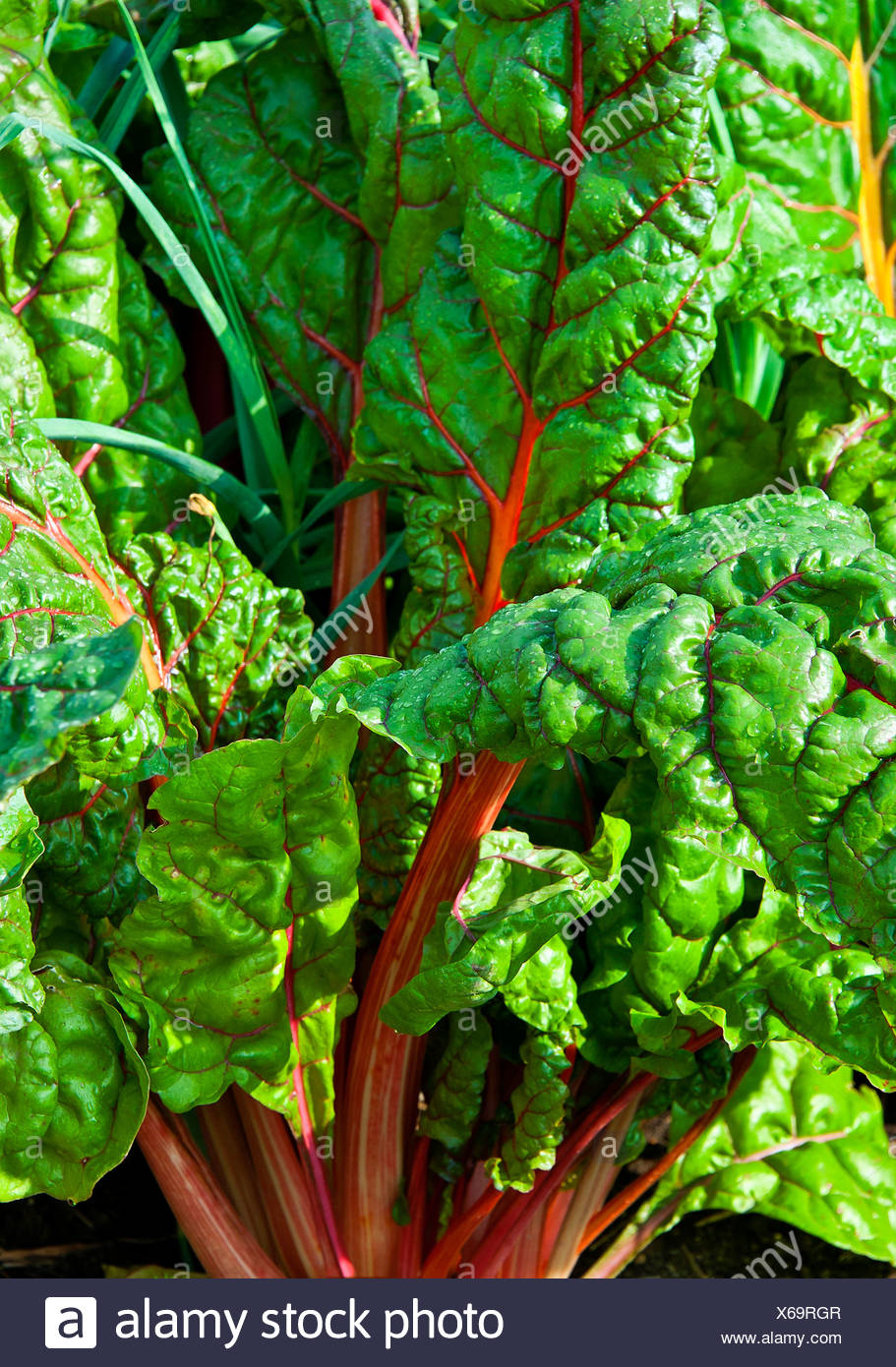 Rhubarb growing in a vegetable garden. - Stock Image