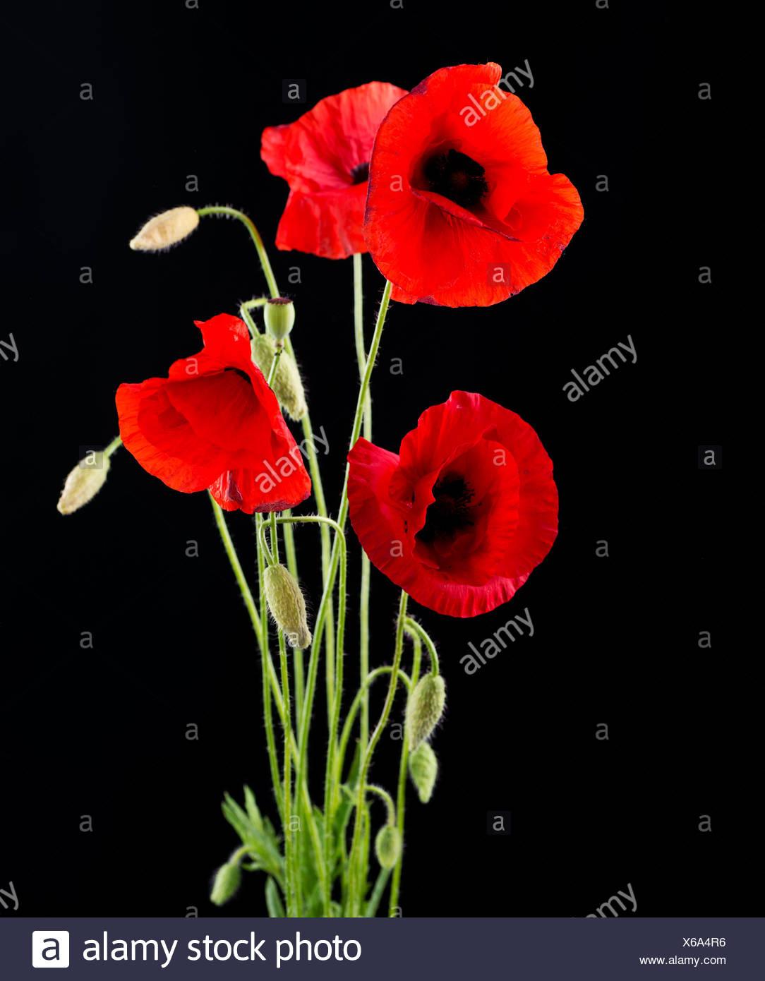 Red poppy flower isolated on black stock photo 279277130 alamy red poppy flower isolated on black mightylinksfo