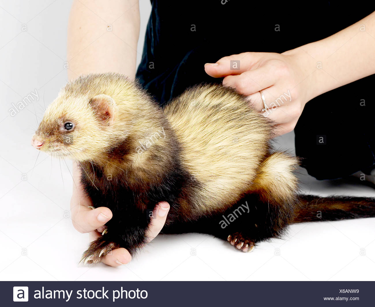 A small young ferret being held. - Stock Image
