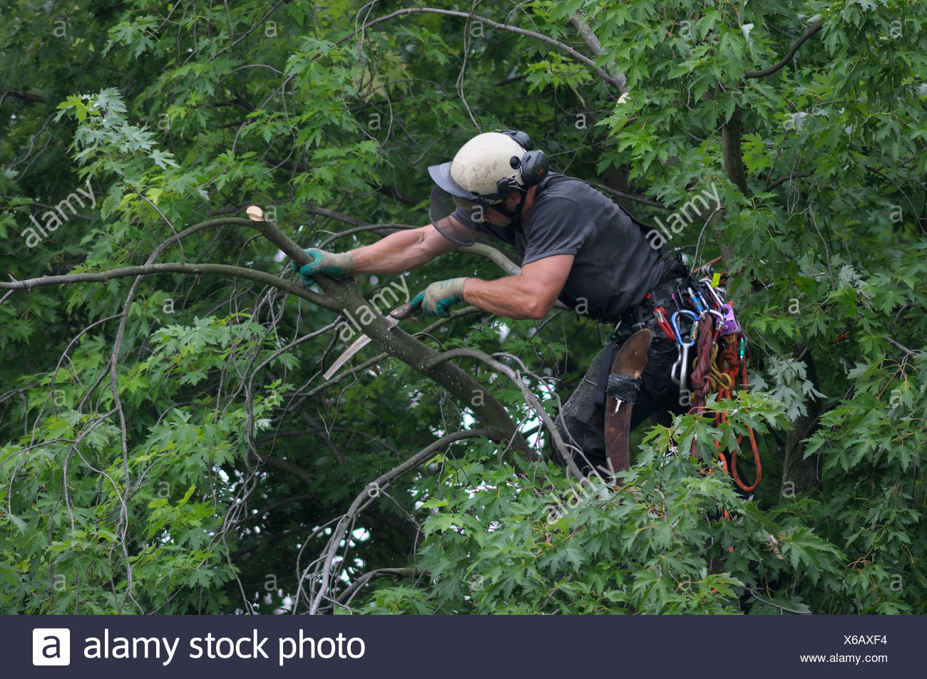 Tree care, using the rope-climbing technique, arborist sawing off a branch in the crown of the tree - Stock Image