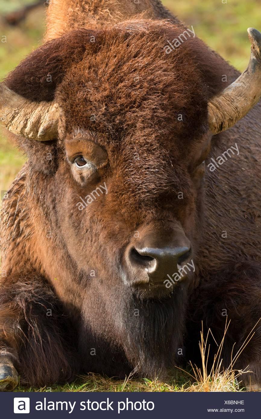 Bison, Northwest Trek Wildlife Park, Washington. - Stock Image