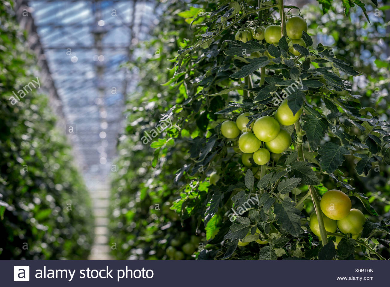 Tomatoes in greenhouse, Iceland Greenhouses are heated with geothermal energy keeping the cost of energy affordable and clean. - Stock Image