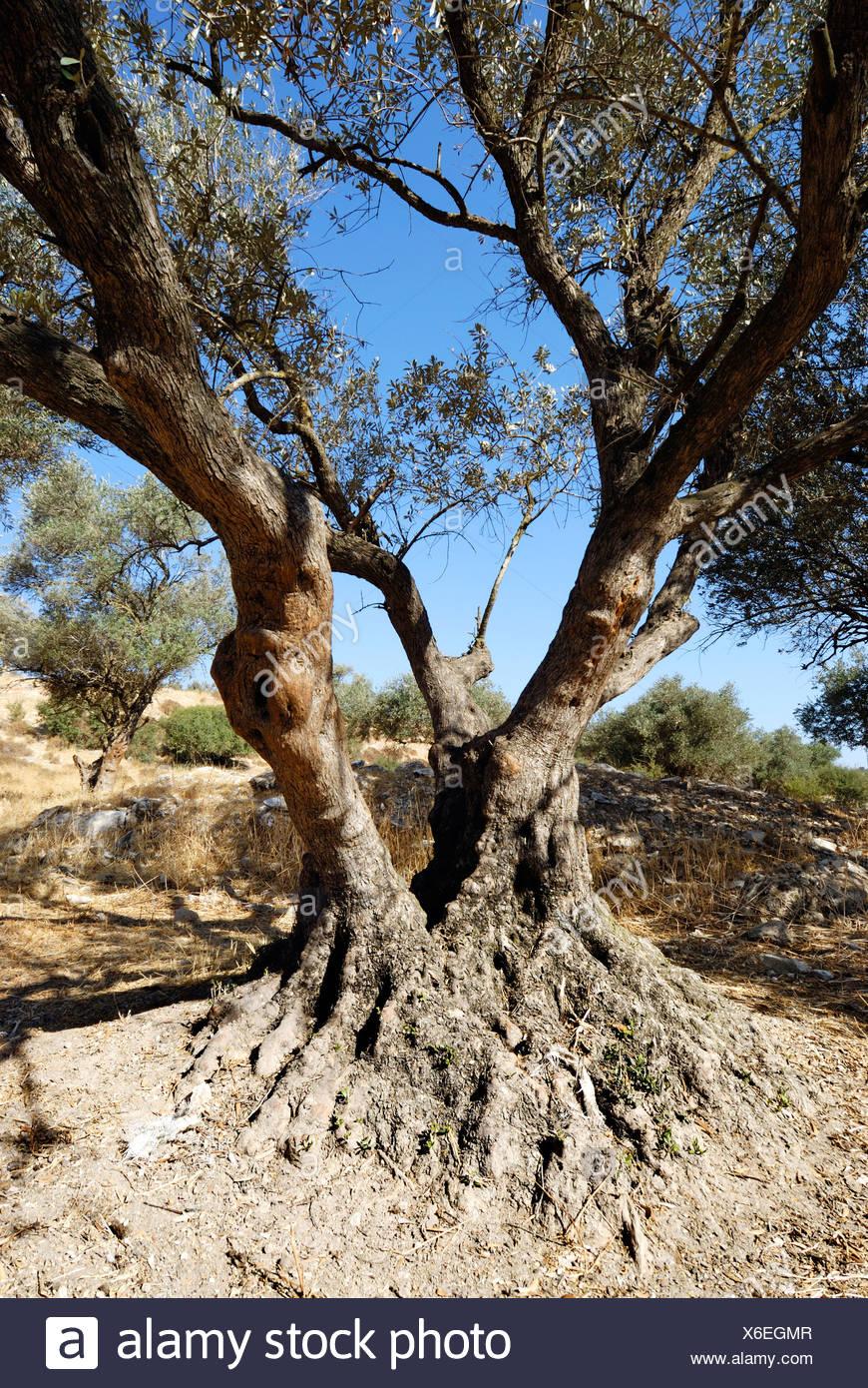 Israel Southern Coastal Plains Lachish Region An old Olive tree - Stock Image