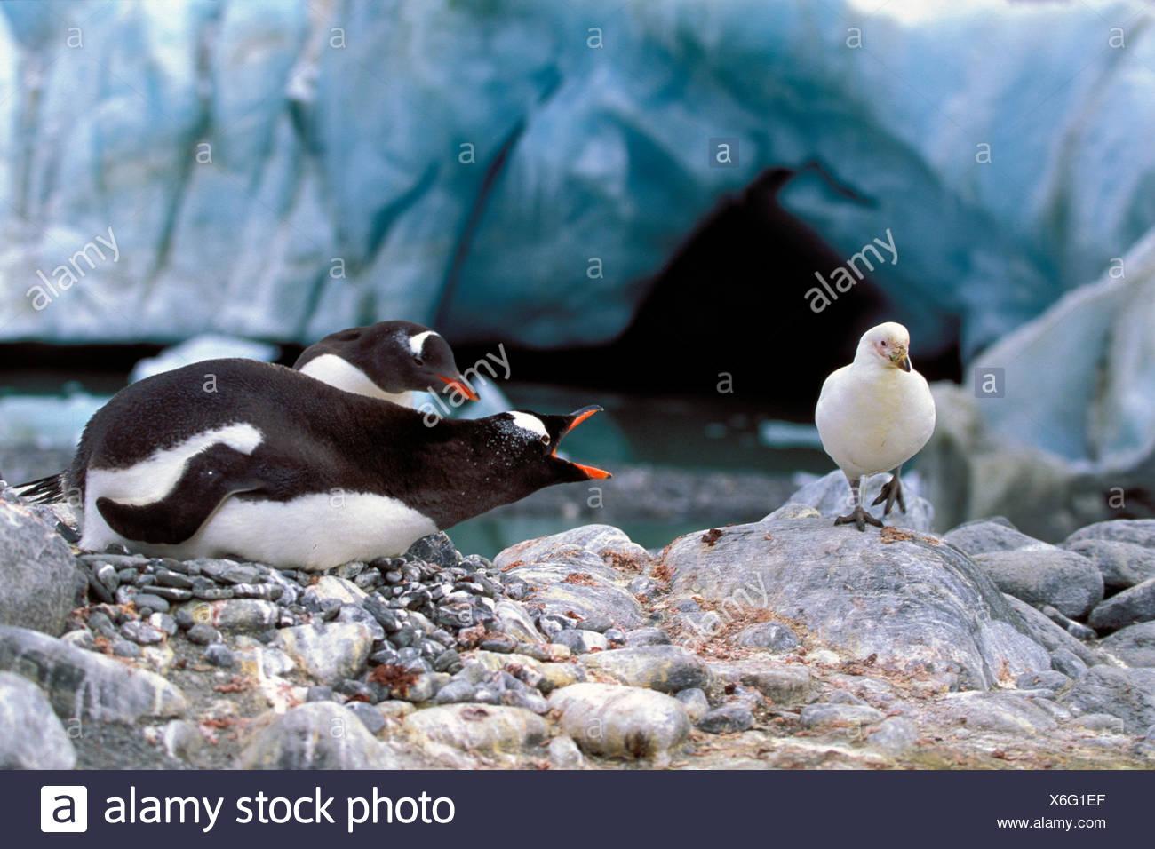 gentoo penguin (Pygoscelis papua), defencing sheathbill, Chionis alba, Antarctica - Stock Image