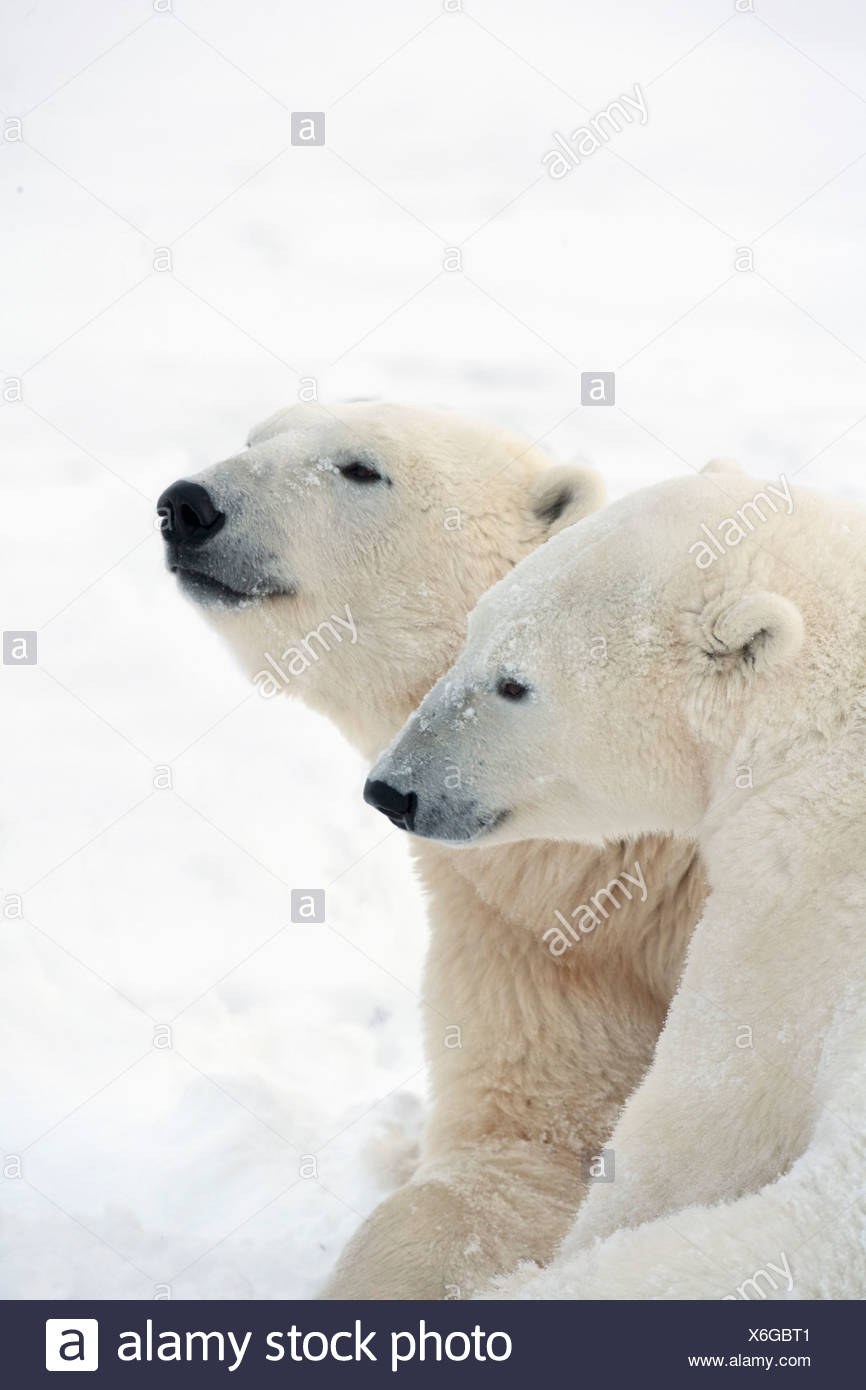 Two Polar Bears (Ursus Maritimus) Showing A Tender Moment As They Cuddle Side By Side; Churchill, Manitoba, Canada - Stock Image