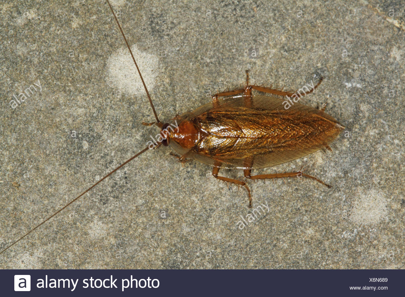 Ectobid cockroach, Field-dwelling cockroach (Ectobius vittiventris), on a stone, Germany - Stock Image