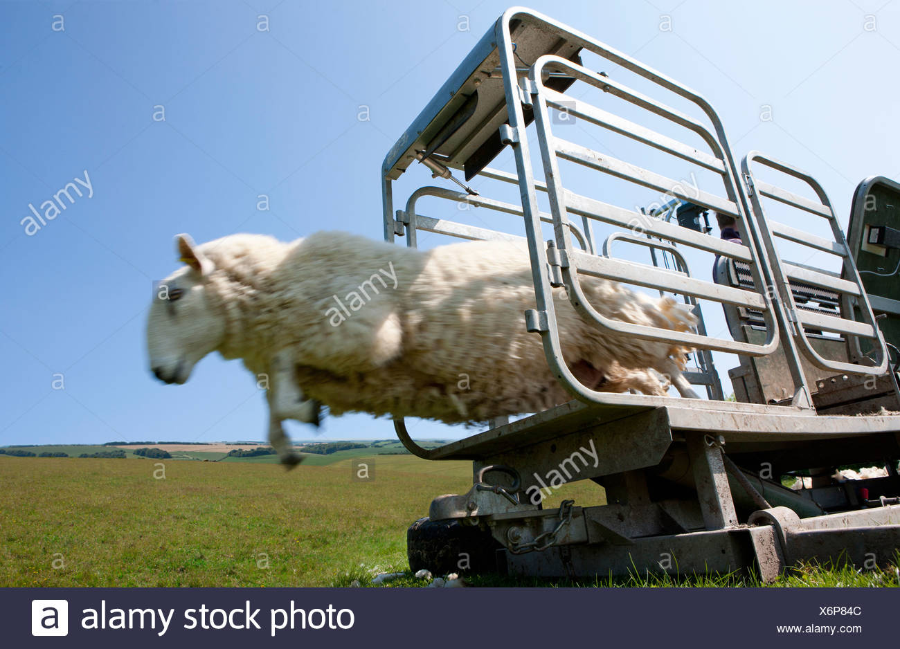 Sheep leaping out of animal pen into grass - Stock Image