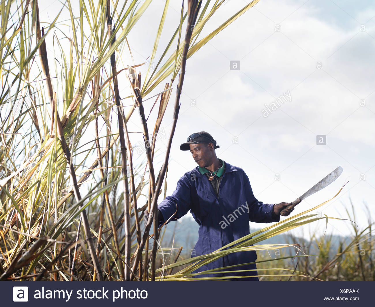 Worker Harvesting Sugar Cane - Stock Image