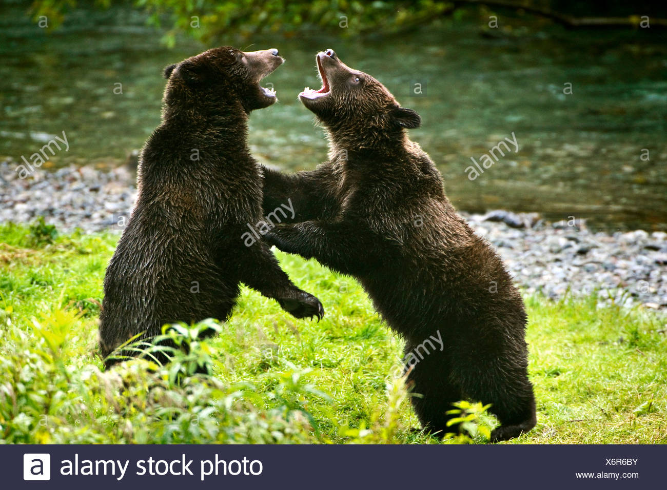 Two grizzly bears fighting - Stock Image